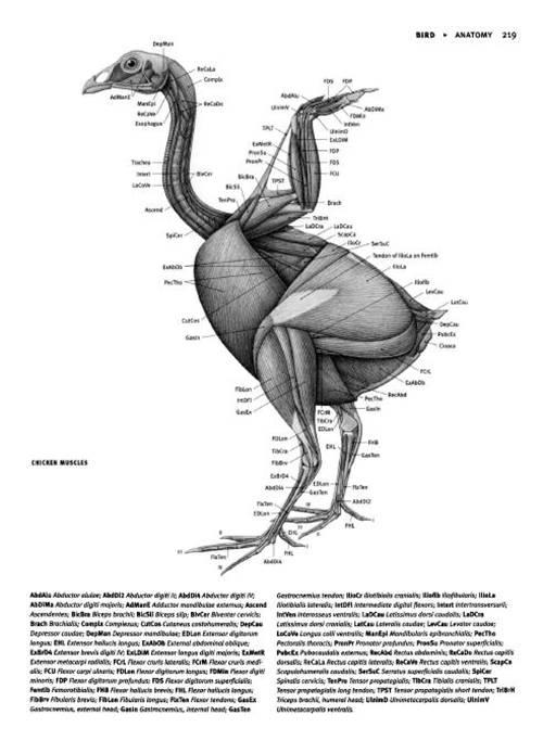 3 | Анатомия животных для художников | ARTeveryday.org