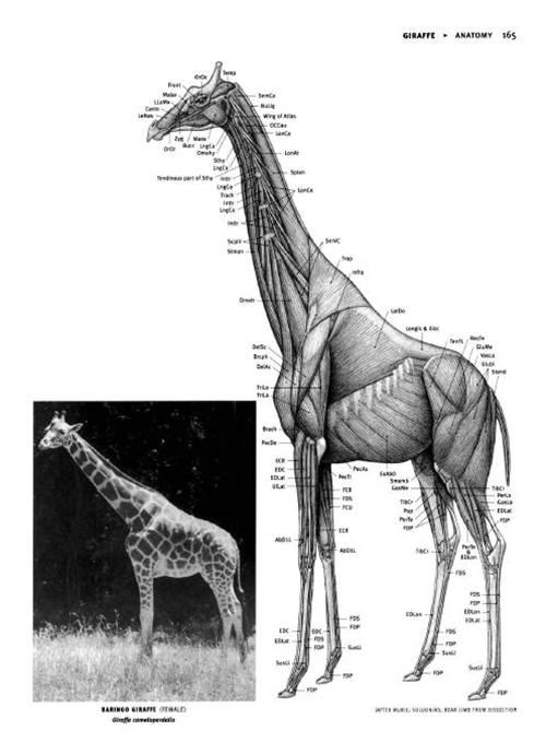 6 | Анатомия животных для художников | ARTeveryday.org