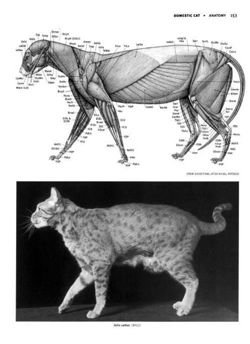 7 | Анатомия животных для художников | ARTeveryday.org