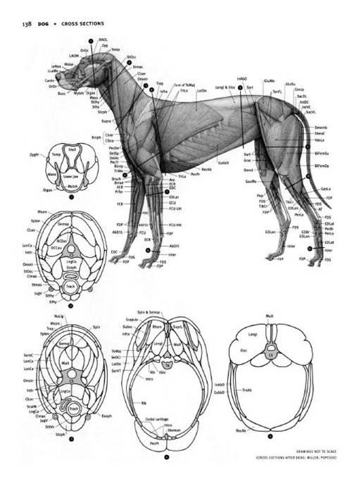 8 | Анатомия животных для художников | ARTeveryday.org